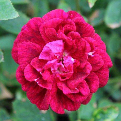 Alice Flores Purple Hybrid China by ML Douglas
