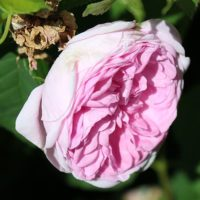 Austin Pink Damask by ML Douglas