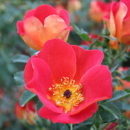 Rosa foetida bicolor (Austrian Copper) by ML Douglas