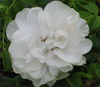 Blanc Double de Coubert-268