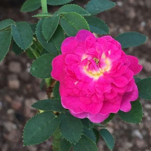 Burgundian Rose (Pompom de Bourgogne)-682