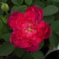 Burgundian Rose (Pompom de Bourgogne)-0