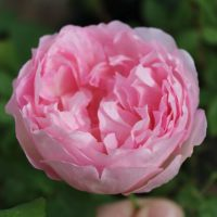 Duchesse de Brabant by ML Douglas