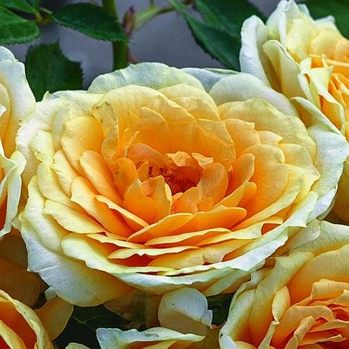 Photo Courtesy of © Weeks Roses