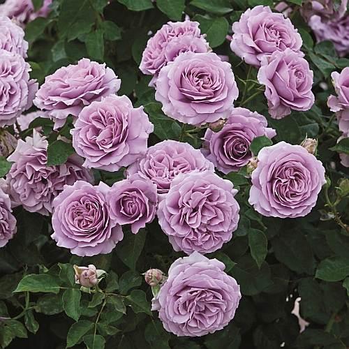 Photo Courtesy of Weeks Roses