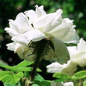 Perpetual White Moss (Quatre Saisons Blanc Mousseux)-38