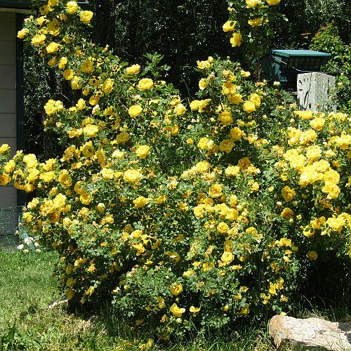 Rosa foetida persiana (Persian Yellow)-0