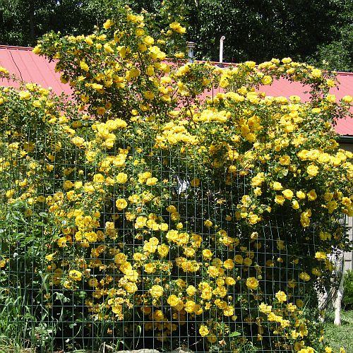 Rosa foetida persiana (Persian Yellow)-1319