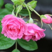 Pink Grootendorst-0