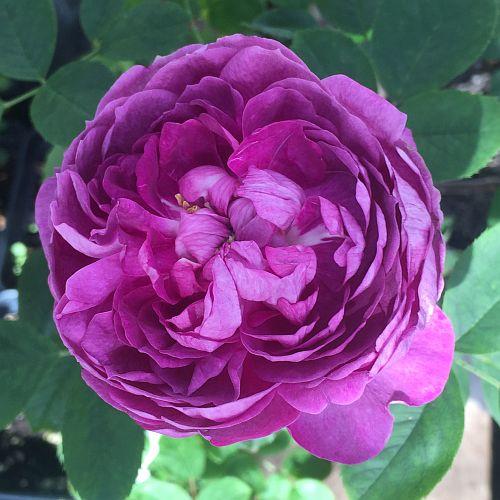 Reine des Violettes by ML Douglas