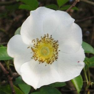 Rosa laevigata-0