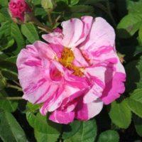 Rosa gallica versicolor (Rosa Mundi)-0