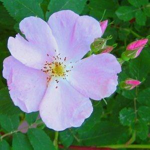 Rosa acicularis-9