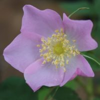 Rosa acicularis-0