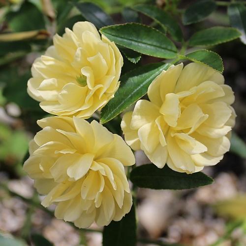 Rosa banksiae lutea by ML Douglas