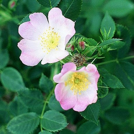 """Rosa blanda"" by A. Barra - Own work. Licensed under CC BY-SA 3.0 via Commons - https://commons.wikimedia.org/wiki/File:Rosa_blanda.jpg#/media/File:Rosa_blanda.jpg"
