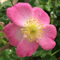 Rosa eglanteria-0