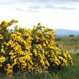 Rosa foetida persiana (Persian Yellow)-363