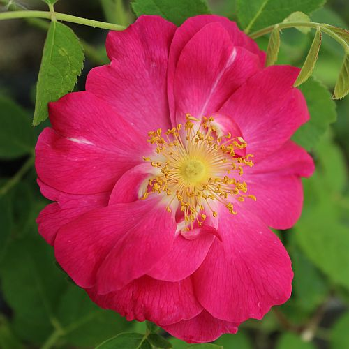 Rosa gallica officinalis by ML Douglas
