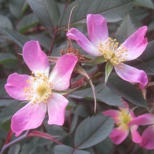 Rosa glauca-0