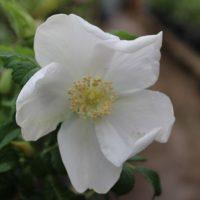 Rosa rugosa alba-0