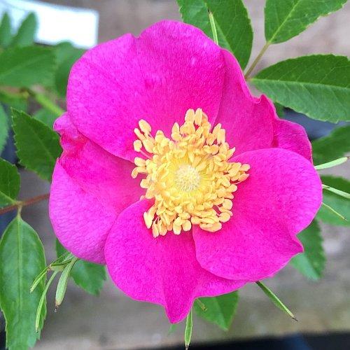 rosa virginiana