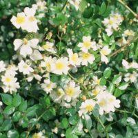 Rosa wichuraiana-0