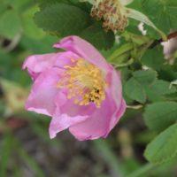 Rosa woodsii-0