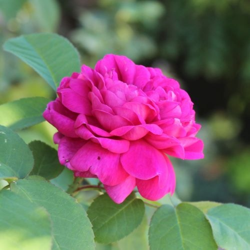 Rose de Rescht by ML Douglas