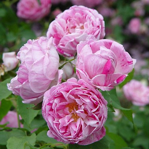 By T.Kiya from Japan - Rose Honoline de Brabant CC BY-SA 2.0, https://commons.wikimedia.org/w/index.php?curid=43231044