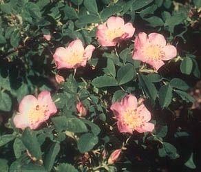 Rosa setigera-373