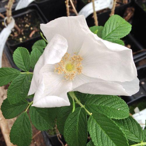 Rosa rugosa alba-691