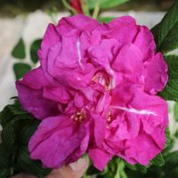 Rugosa Magnifica by ML Douglas