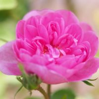 By T.Kiya from Japan (Rose, Spong, バラ, スポン,) [CC BY-SA 2.0 (https://creativecommons.org/licenses/by-sa/2.0)], via Wikimedia Commons