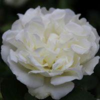 White Meidiland -0