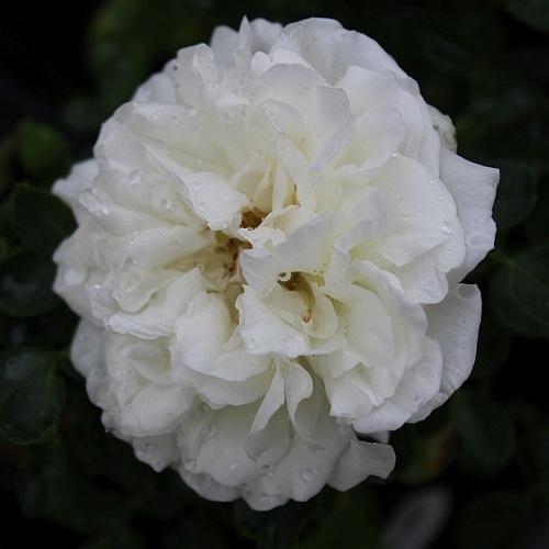 White Meidiland -811